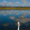 Pinon Lake Swan
