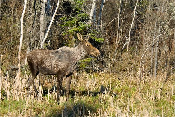 Moose 2<br /> Chapleau, Ontario