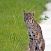 Description - Bobcat <b>Title - Bobcat</b> <i>- Ed Mattis</i>