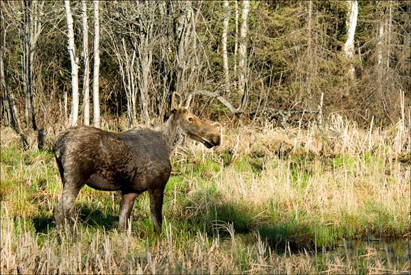Moose 3<br /> Chapleau, Ontario