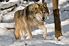 Wolf (Canis Lupis)