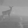 <b>Title - Deer in the Mist</b> <i>- Steve Schwartz</i>
