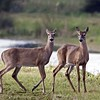 Description - White-tailed Deer <b>Title - Deer</b> 3rd Place <i>- Ed Mattis</i>