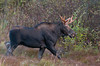 Bull Moose<br /> Chapleau, Ontario
