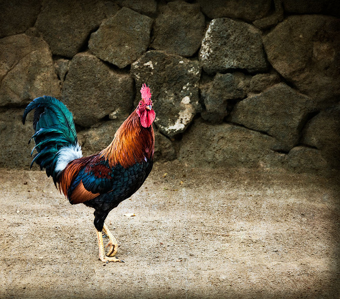 Kona Rooster