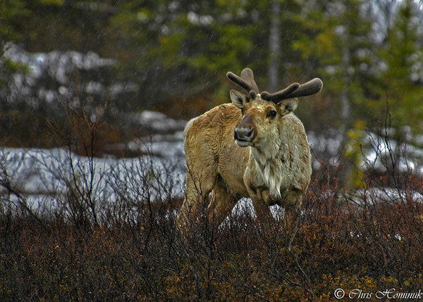 Caribou 2