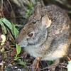 Description - Marsh Rabbit <b>Title - Marsh Rabbit</b> <i>- Lyle Gabor</i>