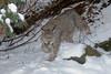 Lynx (Lynx canadensis)