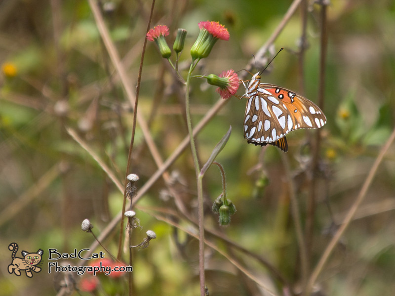 Passion Butterfly<br /> Agraulis vanillae