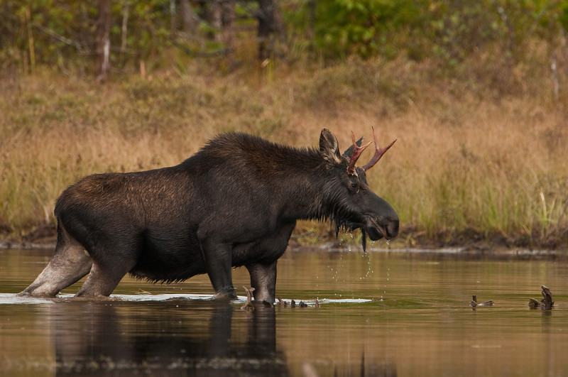 Young Bull Moose<br /> Baxter State Park, Maine