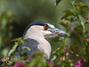 Black-Crowned Night Heron<br /> Nycticorax nycticorax<br /> 'Auku'u (Hawaiian)