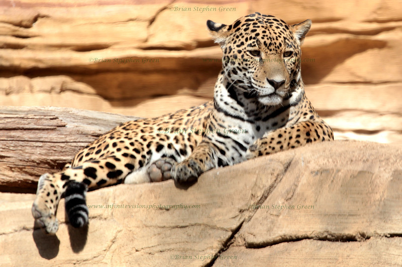 """Sunbathing Jaguar"""
