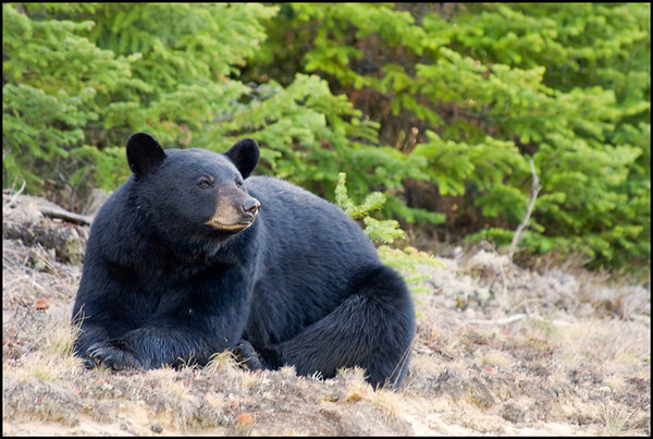 Black Bear 1<br /> Chapleau, Ontario