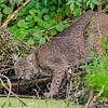 Description - Bobcat <b>Title - Hello Again Kitty</b> <i>- Diane Genneken</i>