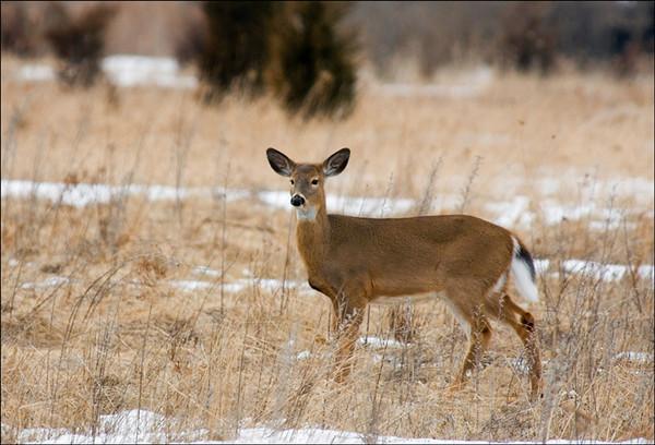 Deer<br /> Presquile Provincial Park