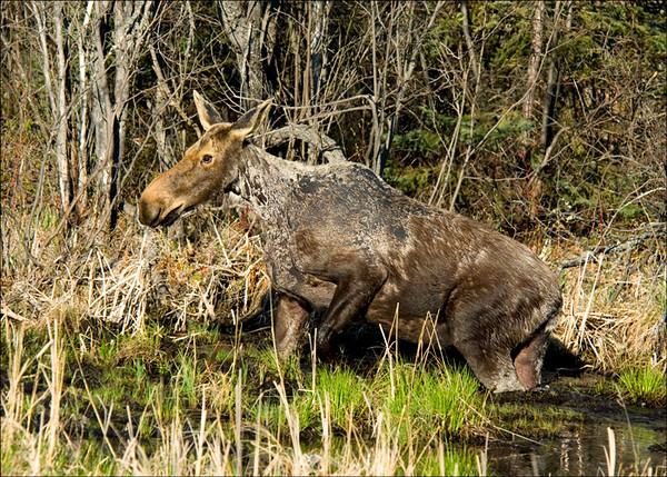 Moose 1<br /> Chapleau, Ontario