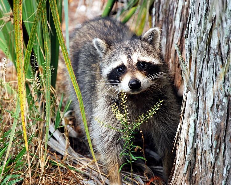 <b>Title - The Bandit Raccoon</b> Honorable Mention <i>- Anne Dignam</i>
