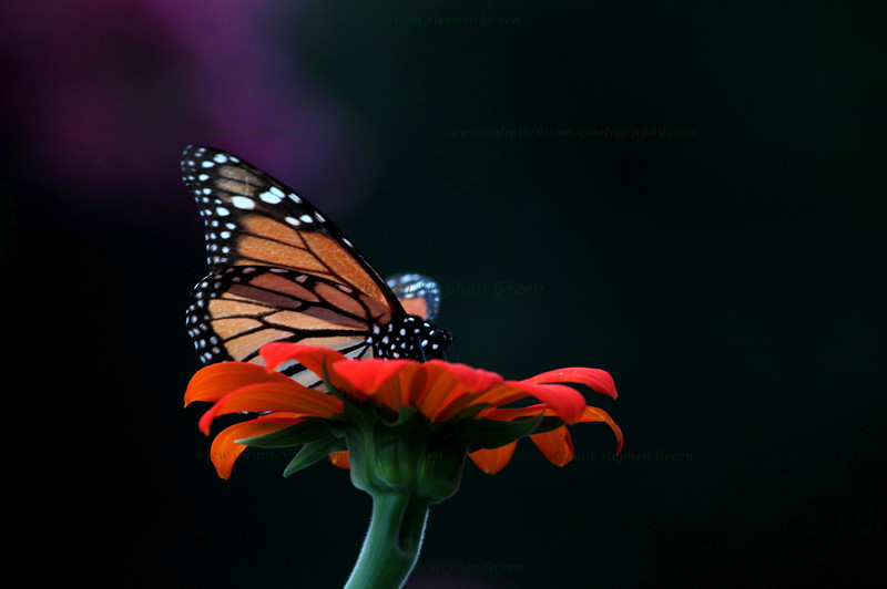 """Monarch on Dahlia"""