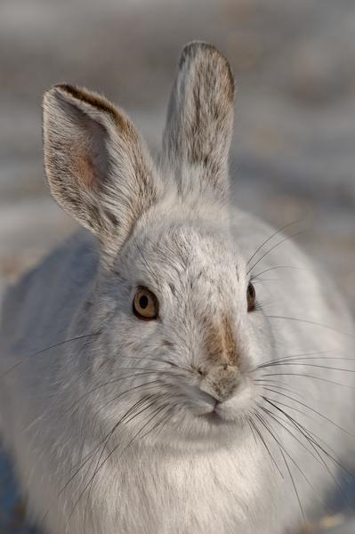 Snowshoe Hare<br /> Kanata, Ontario