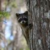 Description - Raccoon <b>Title - Peek-a-boo!</b> Honorable Mention <i>- Michael Morningstar</i>