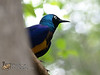 Golden-Breasted Starling<br /> Cosmopsarus regius