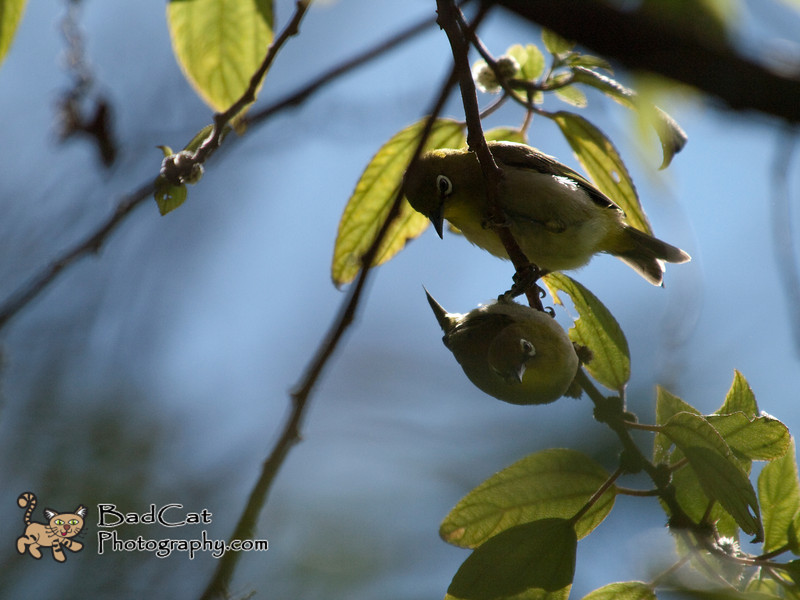 Japanese White-Eye<br /> Zosterops japonicus<br /> Mejiro (Japanese)