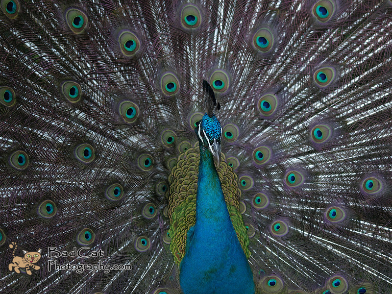 Indian Peafowl<br /> Pavo cristatus