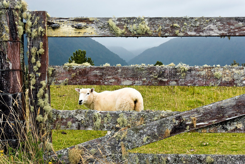 Sheep & Fence