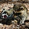 Description - Raccoons <b>Title - Brothers At Play</b> <i>- Jim LaRocco</i>