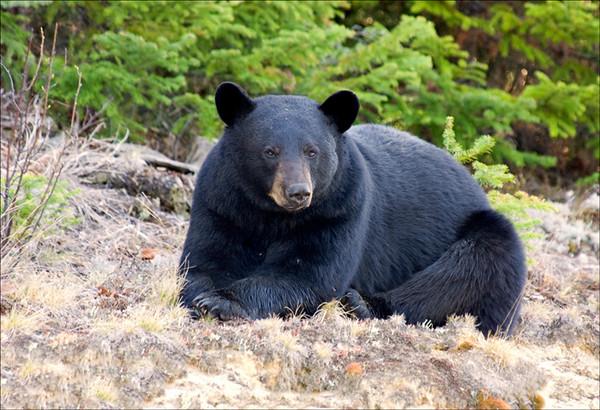 Black Bear 2<br /> Chapleau, Ontario