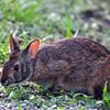 Description - Marsh Rabbit <b>Title - Marsh Rabbit</b> <i>- Howard Bernstein</i>