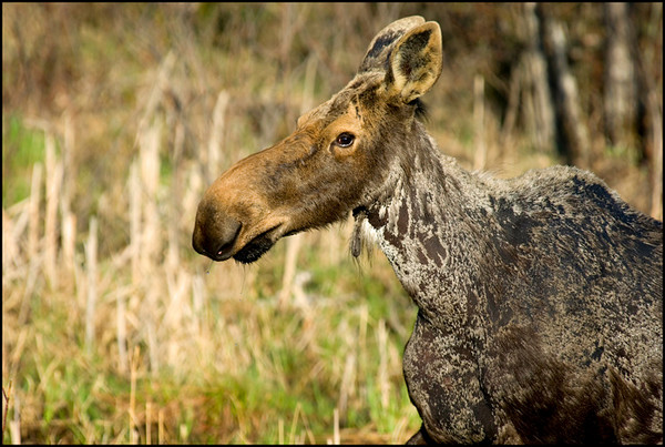Moose Profile<br /> Chapleau, Ontario
