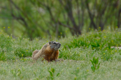 Male Yellow-bellied Marmot