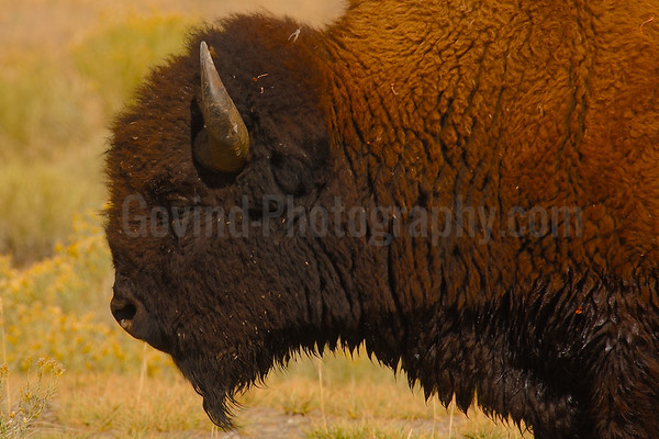 American Bison Profile