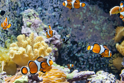 Orange Clown Anemone Fish