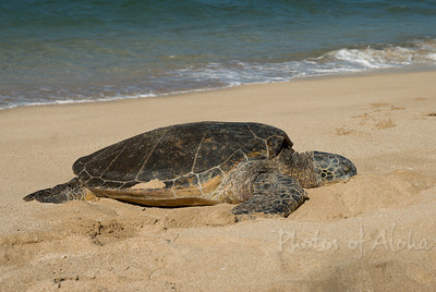 Hawai'ian Green Sea Turtle (Honu) Laniakea (Lani's) Beach, North Shore of Oahu, Hawai'i