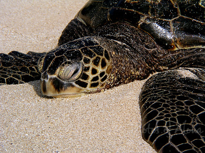 Hawai'ian Green Sea Turtle resting on Lani's Beach on the North Shore