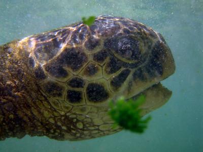 Hawai'ian Green Sea Turtle (Honu) eating limu at Lani's Beach on the North Shore of O'ahu  Hawai'i
