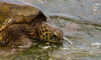 Water squirting out of the turtles nose while eating limu   Laniakea (Lani's) Beach on the North Shore of O'ahu  Hawai'i
