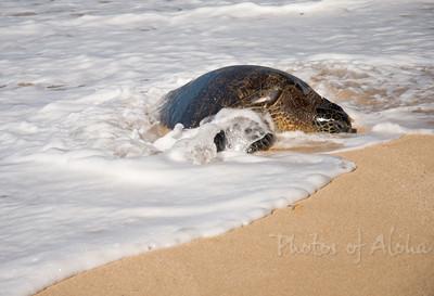 Hawai'ian Green Sea Turtle (Honu) Laniakea (Lani's) Beach, North Shore of Oahu, Hawai'i