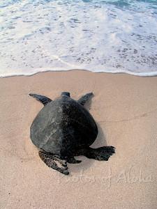 Hawai'ian Green Sea Turtle heading back into the ocean at Lani's Beach on the North Shore