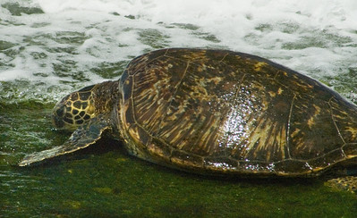 Hawai'ian Green Sea Turtle (Honu) eating limu at Lani's Beach on the North Shore of O'ahu  Hawai'i