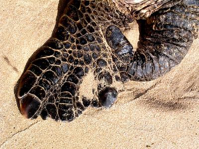 Hawai'ian Green Sea Turtle's flipper