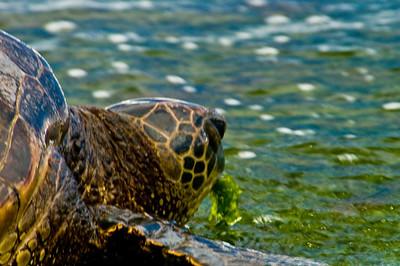 Endangered Honu (Hawaiian Sea Turtle) eating limu (seaweed)at Laniakea BeachNorth Shore of O'ahu