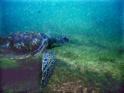 Green sea turtle swimming in the limu-filled North Shore waters  The green sea turtle's Latin name is Chelonia mydas. In Hawai'i, the green sea turtle is known as Honu (pronounced hoe-new). Hawai'ian Green Sea Turtle is known by its Hawai'ian name Honu