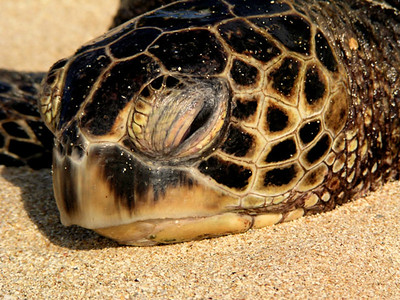 Limu (seaweed)at Laniakea Beach attracts many Hawaiian Sea Turtles, but please give the turtles their space, they're endangeredNorth Shore of O'ahu
