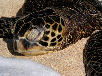 Hawai'ian Green Sea Turtle, or Honu, resting as the waves reach its head