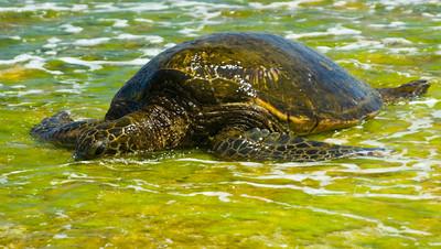 Hawaiian Green Sea Turtle in seaweed Honu in limu