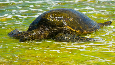 Hawaiian Green Sea Turtle in seaweed Honu in limu