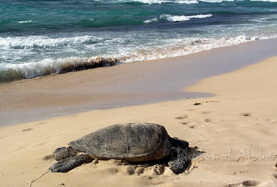 Hawai'ian Green Sea Turtle (Honu) basking in the sun  Please do not disturb - they're an endangered species  Lani's Beach on the North Shore of O'ahu, Hawai'i